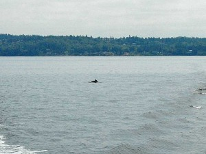 Dall's Porpoises swimming in the wake.
