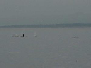 Orcas near Decatur Island