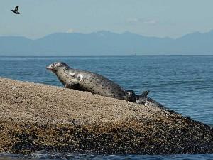 Harbor Seal and Pup at Sucia Island.