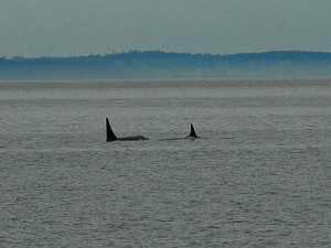 Orca Whales playing in Rosario Straight