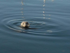 Popeye, the resident one-eyed seal at Friday Harbor.
