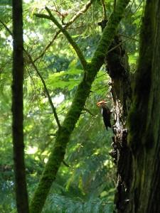 Pileated Woodpecker on Hope Island