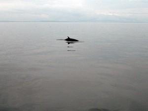 A Minke Whale rolls right next to Sea Eagle