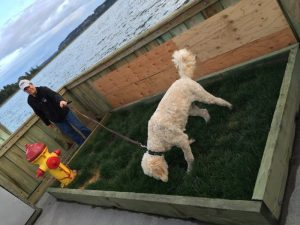 Yankee digs the real grass dog potty out on the breakwater at Oak Harbor Marina